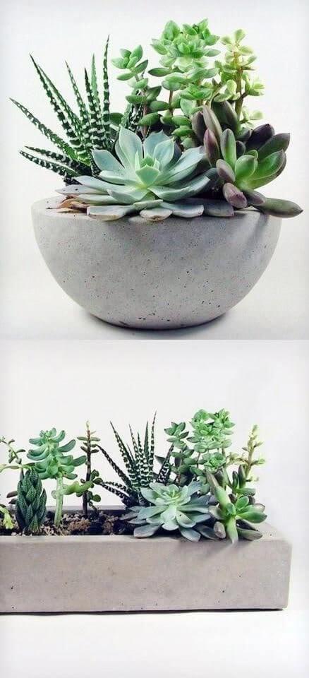 caracteristica de una planta suculenta